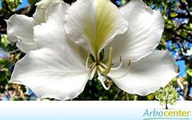 Sementes de Pata de Vaca de Flor Branca