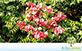Sementes de Árvore da China (Koelreuteria bipinnata Franch.)