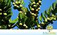 Sementes de Abricó da Praia (Labramia bojeri)