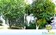 Sementes de Acerola (Malpighia emarginata DC.)
