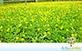 Sementes de Amendoim Forrageiro (Arachis pintoi cv Amarillo MG-100)