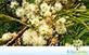 Sementes de Angico do Cerrado (Anadenanthera falcata(Benth.) Speg.)