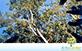 Sementes de Angico do Morro (Anadenanthera peregrina (L.) Speg.)