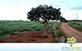 Sementes de Araçá Verdadeiro (Psidium araça Raddi)