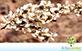 Sementes de Aroeira Preta (Myracrodruon urundeuva Allemão)