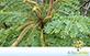 Sementes de Barbatimão (Stryphnodendron polyphyllum Mart.)
