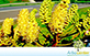 Sementes de Barbatimão Falso  (Dimorphandra mollis Benth.)
