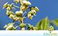 Sementes de Cabreuva (Myroxylon peruiferum L. f.)