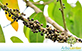 Sementes de Capororoca (Rapanea gardneriana (A. DC.) Mez)