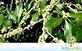 Sementes de Capororoca Vermelha (Rapanea ferruginea (Ruiz & Pav) Mez)