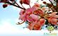 Sementes de Cássia Grande  (Cassia grandis L. f.)