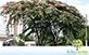 Sementes de Cássia Vermelha (Cassia renigera Wall.)