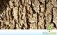 Sementes de Casuarina  (Casuarina cunninghamiana Miq.)