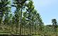 Sementes de Cedro Australiano (Toona Ciliata M. Roem var Australis)
