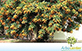 Sementes de Cheflera Pequena  (Schefflera arboricola (Hayata) Merr.)