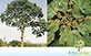 Sementes de Chichá  (Sterculia chicha A. St.-Hil. ex Turpin)