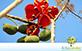 Sementes de Chichá do Cerrado (Sterculia striata A. St.-Hil. & Naudin)