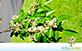 Sementes de Coração de Negro (Poecilanthe parviflora Benth.)