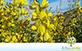 Crotalária Juncea (Crotalaria juncea L.)