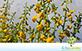 Crotalária Spectabilis (Crotalaria spectabilis Roth)