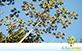 Sementes de Embauba do Brejo (Cecropia pachystachya Trécul)