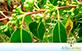 Sementes de Eucalipto Camaldulensis  (Eucalyptus camaldulensis)