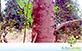 Sementes de Eucalipto Cloeziana  (Eucalyptus cloeziana)