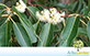 Sementes de Eucalipto Grandis  (Eucalyptus grandis)