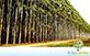Sementes de Eucalipto Urophylla  (Eucalyptus urophylla)