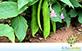 Feijão de Porco (Canavalia ensiformis (L.) DC)