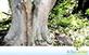 Sementes de Figueira do Brejo  (Ficus insipida Willd.)
