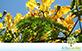 Sementes de Flamboyant Amarelo (Delonix regia sp.)