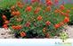Sementes de Flamboyant Mirim (Caesalpinia pulcherrima Swartz.)