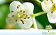 Sementes de Guanandi (Calophyllum brasiliense Cambess.)