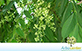 Sementes de Guaritá (Astronium graveolens Jacq.)