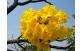 IPÊ AMARELO DA SERRA Tabebuia alba (Cham.) Sandwith