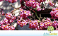 Sementes de Ipê Roxo-Sete-Folhas (Tabebuia heptaphylla (Vell.) Toledo)
