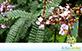 Sementes de Jacarandá Bico de Pato (Machaerium aculeatum Raddi.)