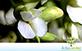 Sementes de Jacarandá da Bahia (Dalbergia nigra (Vell.) Fr. All. ex Benth)