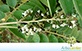 Sementes de Jacarandá Paulista (Machaerium villosum Vogel.)
