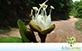 Sementes de Jatobá-da-mata (Hymenaea coubaril var. stilbocarpa)
