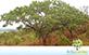 Sementes de Jatobá do Cerrado (Hymenaea stigonocarpa Mart. ex Hayne)
