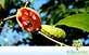 Sementes de Leiteiro (Tabernaemontana hystrix)