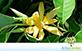 Sementes de Magnólia Amarela (Michelia champaca)