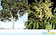 Sementes de Mamica de Porca  (Zanthoxylum riedelianum)