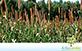 Milheto (Pennisetum glaucum)