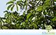 Sementes de Morototó (Schefflera morototoni)