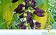 Mucuna Cinza (Mucuna pruriens (L.) DC. = Mucuna nivea (Roxb.) DC. Ex Wight & Arn.)