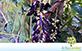 Mucuna Preta (Mucuna prurien (l.) D.C. incl. Mucuna aterrima (Piper & Tracy) Holland)
