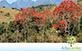 Sementes de Mulungu Eritrina  (Erythrina mulungu)